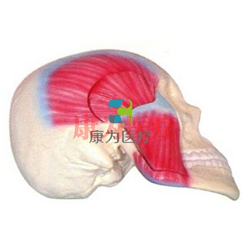 咀嚼肌解剖模型