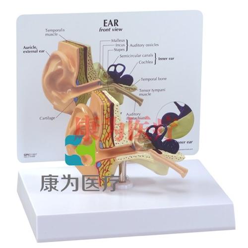 """""""康为医疗""""医患关系沟通模型-正常耳模型 (医学指导模型)"""