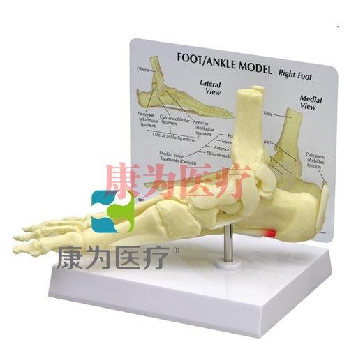 """""""康为医疗""""医患关系沟通模型-正常足骨模型 (医学指导模型)"""