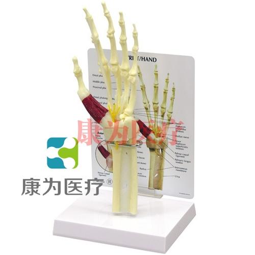 """""""康为医疗""""医患关系沟通模型-前臂骨骼带手掌、手腕模型 (医学指导模型)"""