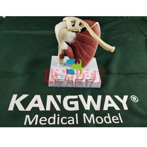 """""""康为医疗""""医患关系沟通模型-肩关节附肌肉模型 (医学指导模型)"""