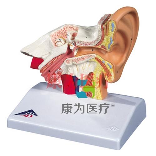 台式耳模型,实物1.5倍