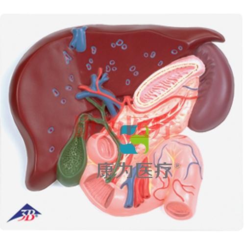 肝脏带胆囊、胰和十二指肠模型