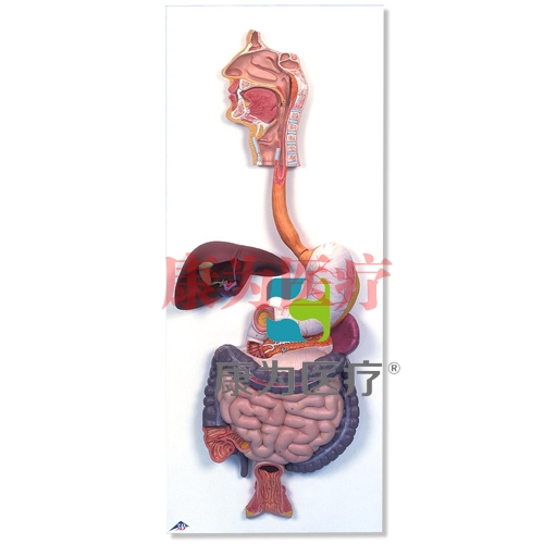 消化系统模型,2部分