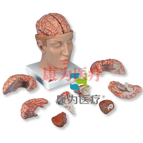 豪华型脑模型带颅底动脉,8部分