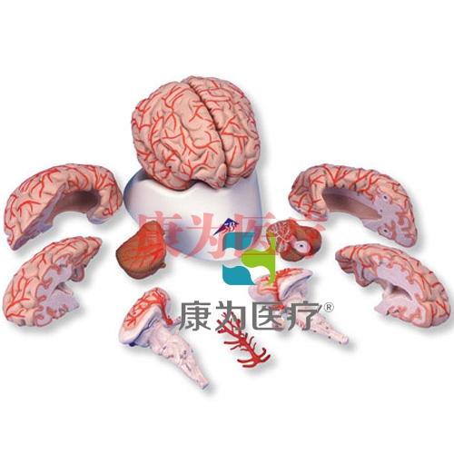 豪华型脑模型带动脉,9部分