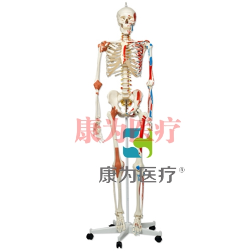 GPI人体骨架高分子硅胶模型(软硬结合)