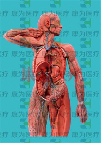 GPI医学人体肌肉硅胶模型(软硬结合)
