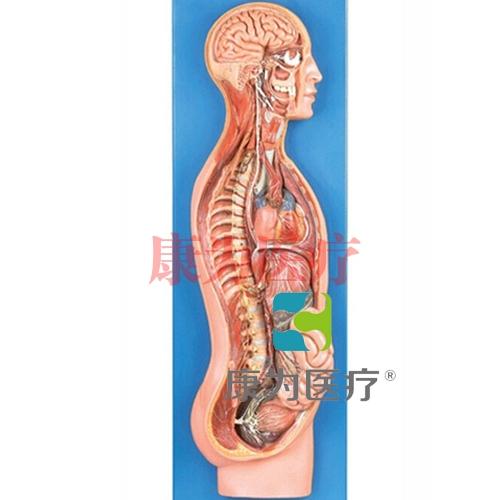 GPI神经系统硅胶模型(软硬结合)