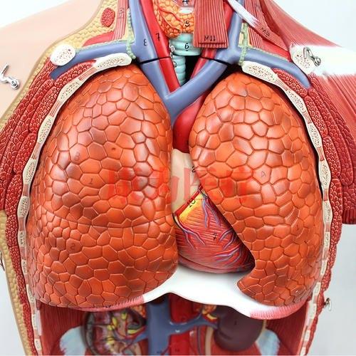 GPI内分泌系统硅胶模型(软硬结合)