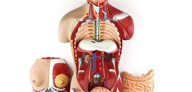 昆山解剖医学模型 Anatomy